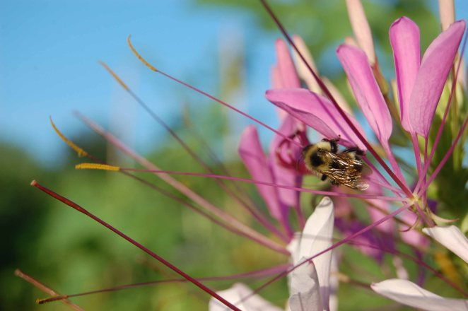 Cleome flower with bee